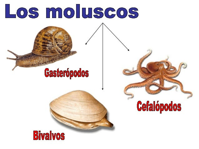 Pulpos Nautilus Calamar y pota Sepia, jibia o choco Ammonites (fósiles)Argonauta