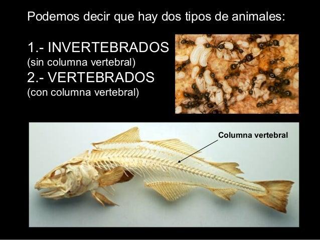 Podemos decir que hay dos tipos de animales: 1.- INVERTEBRADOS (sin columna vertebral) 2.- VERTEBRADOS (con columna verteb...