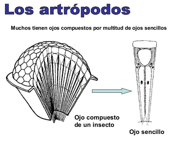 Columna vertebral Esqueleto de rana