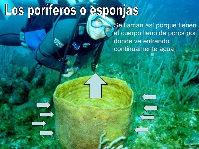 Casi todas las especies son marinas. Siempre fijas al fondo. No se desplazan y se mueven muy poco o nada Son animales muy ...