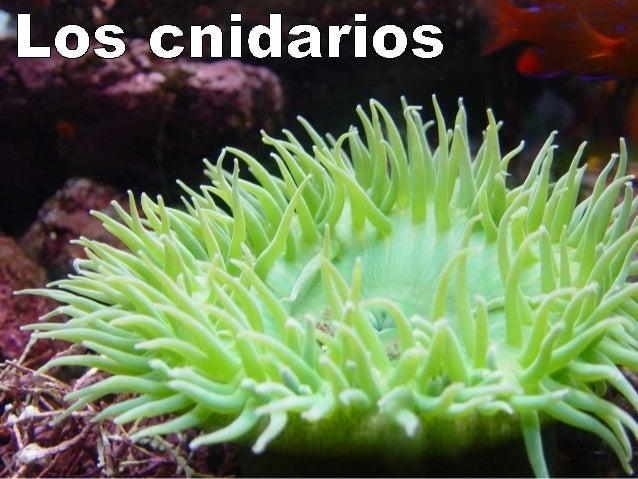 Opérculo Cnidocilio Filamento urticante Cnidoblastos