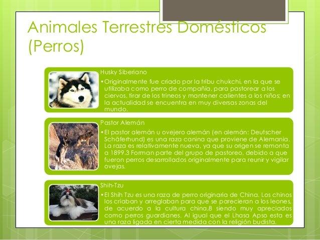Animales Terrestres Domésticos (Perros) Husky Siberiano •Originalmente fue criado por la tribu chukchi, en la que se utili...