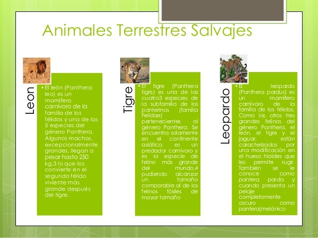 Animales Terrestres SalvajesLeon •El león (Panthera leo) es un mamífero carnívoro de la familia de los félidos y una de la...