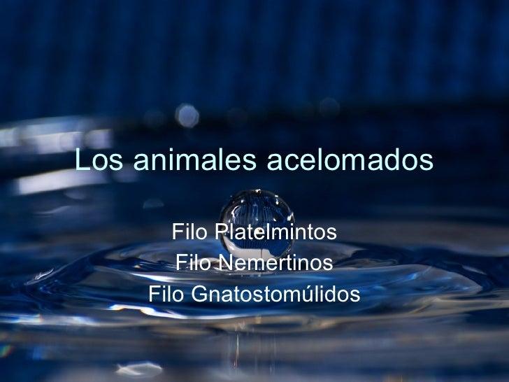 Los animales acelomados Filo Platelmintos Filo Nemertinos Filo Gnatostomúlidos