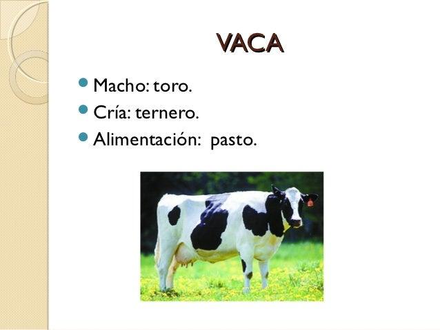 VACAMacho: toro.Cría: ternero.Alimentación:    pasto.