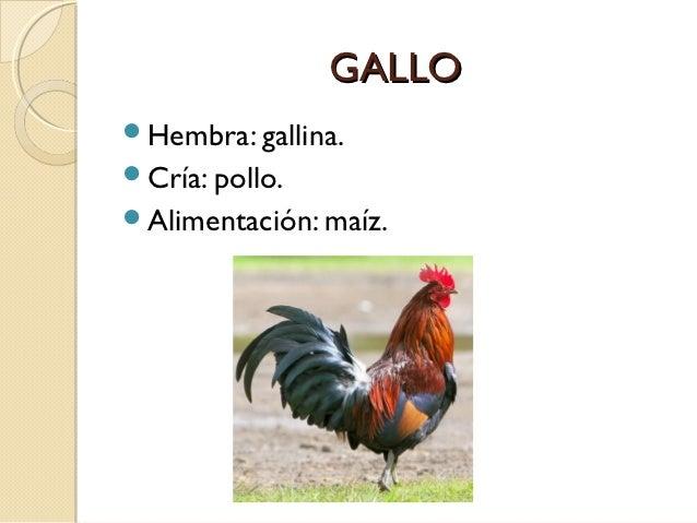 GALLOHembra: gallina.Cría: pollo.Alimentación: maíz.