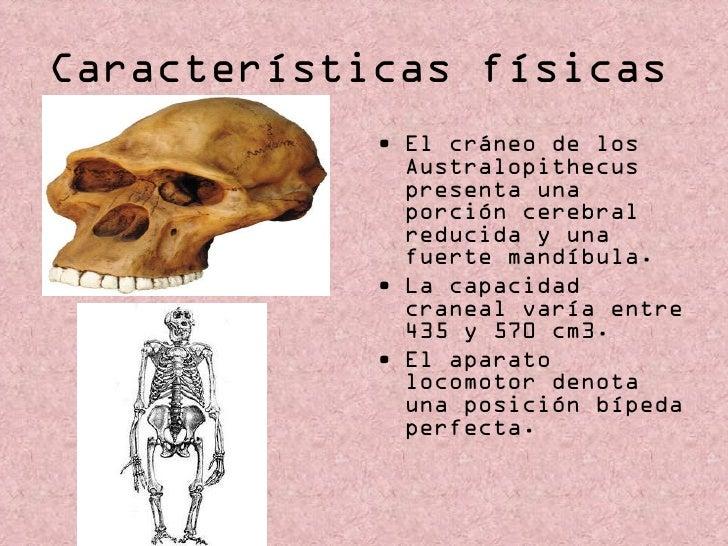 Características físicas   <ul><li>El cráneo de los Australopithecus presenta una porción cerebral reducida y una fuerte ma...
