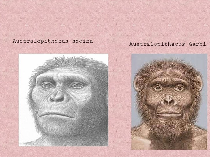 <ul><li>Australopithecus sediba </li></ul>Australopithecus Garhi