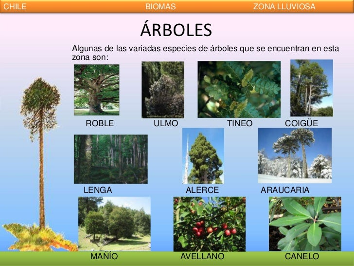 Fotos de arboles chilenos