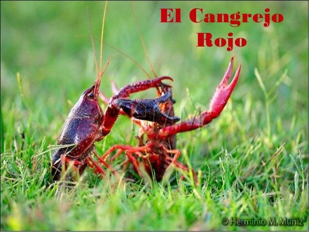 El Cangrejo           RojoEl Cangrejo Rojo