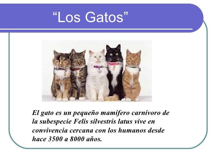 """""""Los Gatos""""     El gato es un pequeño mamífero carnívoro de la subespecie Felis silvestris latus vive en convivencia cerca..."""