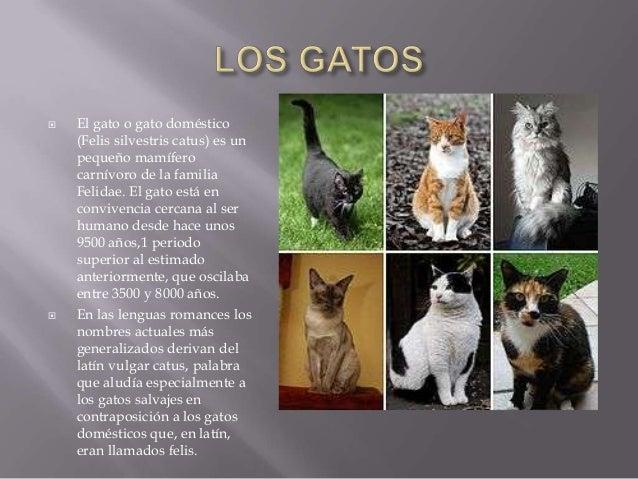  El gato o gato doméstico(Felis silvestris catus) es unpequeño mamíferocarnívoro de la familiaFelidae. El gato está encon...