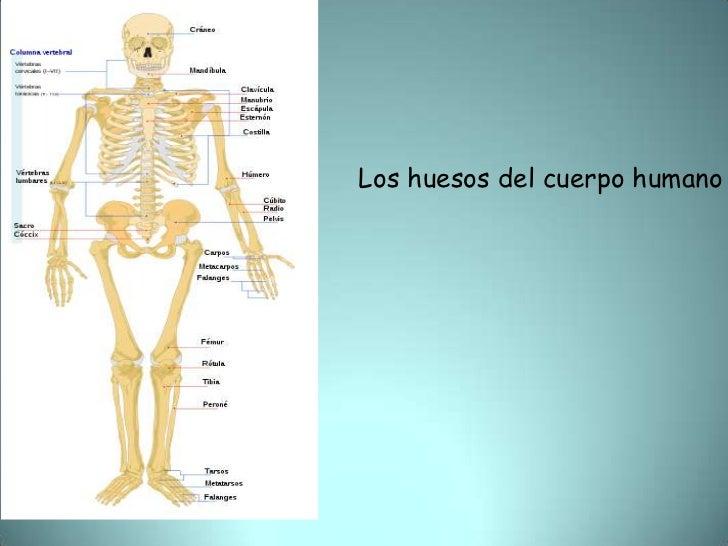 Los huesos del cuerpo humano<br />