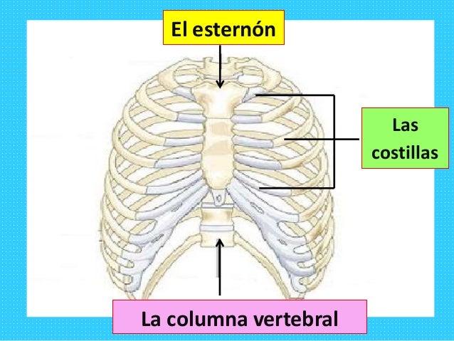 Los huesos del tronco 2º