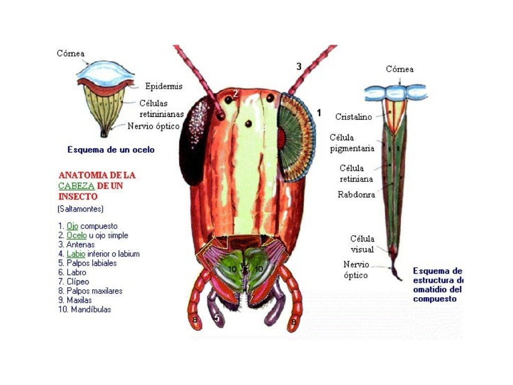 Filo artrópodos-clase insectos
