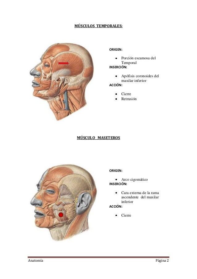 Lujo Diagrama De La Cabeza Y Los Músculos Del Cuello Cresta ...