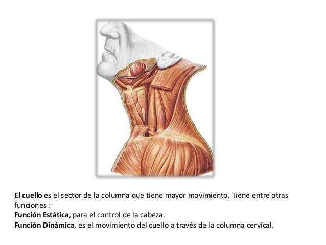 Los músculos del cuello y sus funciones.