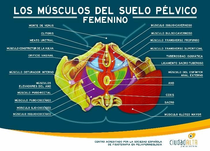 Los músculos del suelo pélvico