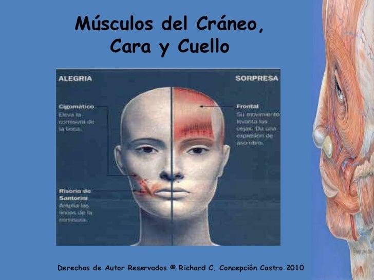 Los Musculos Faciales Slide 2