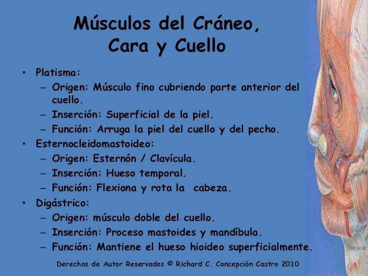 Músculos del Cráneo, Cara y Cuello<br />Platisma:<br />Origen: Músculo fino cubriendo parte anterior del cuello.<br />Inse...
