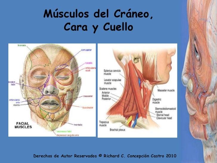 Los Musculos Faciales