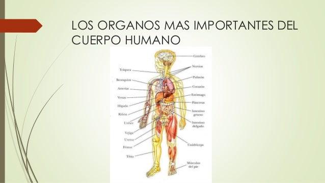 Los organos humanos - Interior cuerpo humano organos ...