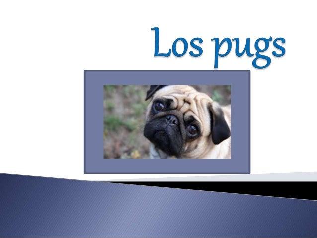  El pug o carlino es una raza canina con origen histórico en China, pero con el patrocinio de Reino Unido.  La palabra «...