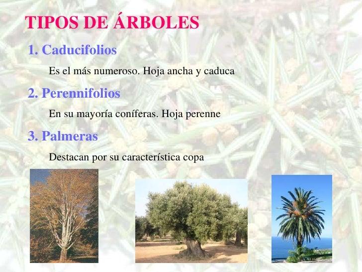 Los rboles for Arboles de hoja perenne que crece rapido