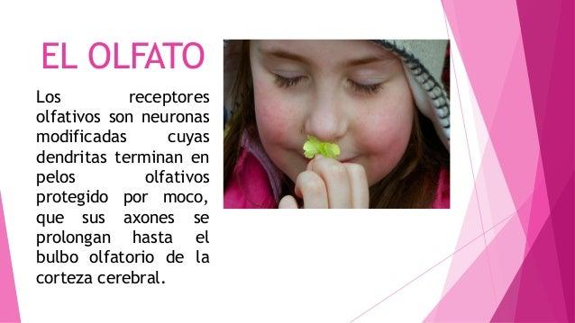 EL OLFATO Los receptores olfativos son neuronas modificadas cuyas dendritas terminan en pelos olfativos protegido por moco...