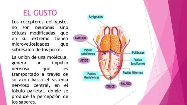 EL GUSTO Los receptores del gusto, no son neuronas sino células modificadas, que en su extremo tienen microvellosidades qu...