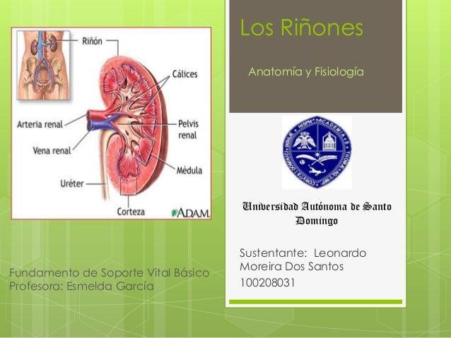 Los Riñones Sustentante: Leonardo Moreira Dos Santos 100208031 Anatomía y Fisiología Universidad Autónoma de Santo Domingo...