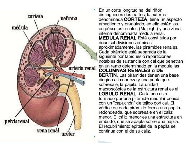 Los riñones anatomia