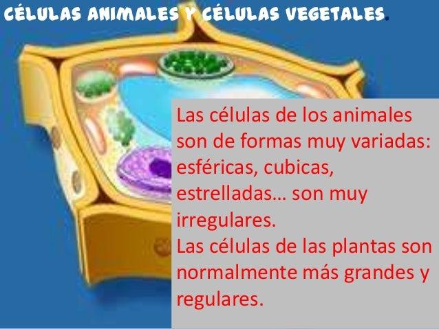 Células animales y células vegetales.                Las células de los animales                son de formas muy variadas...