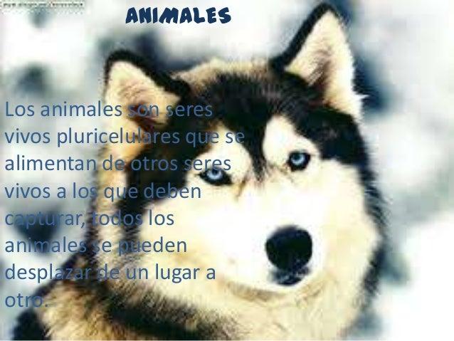 ANIMALESLos animales son seresvivos pluricelulares que sealimentan de otros seresvivos a los que debencapturar, todos losa...