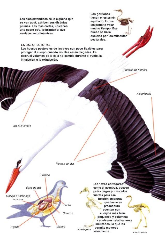 Único Anatomía De Aves De Plumas Del Ala Colección de Imágenes ...