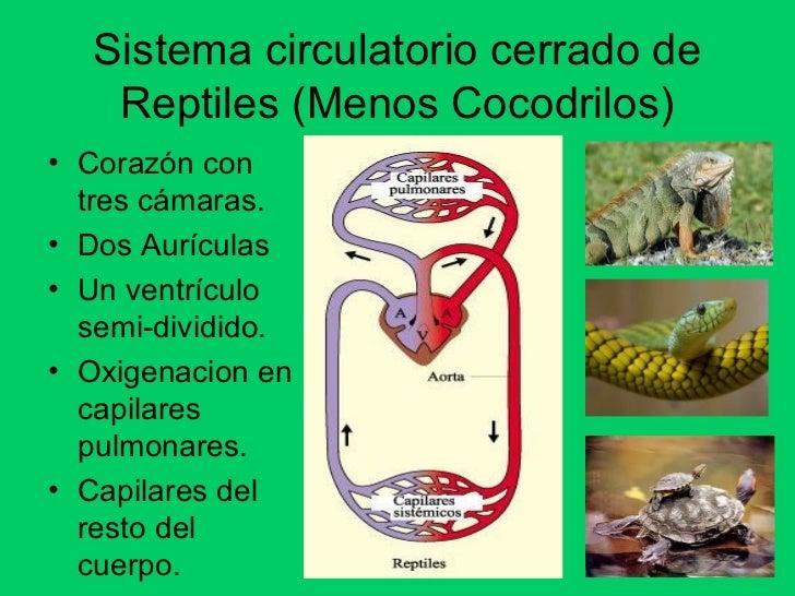 Los sistemas circulatorios en los animales