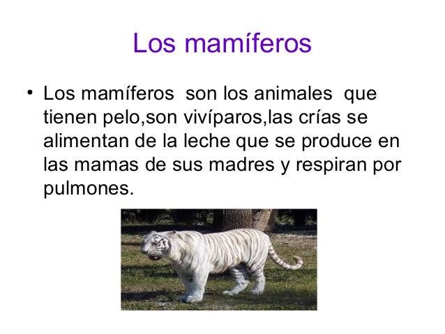 Los mamíferos  • Los mamíferos son los animales que  tienen pelo,son vivíparos,las crías se  alimentan de la leche que se ...