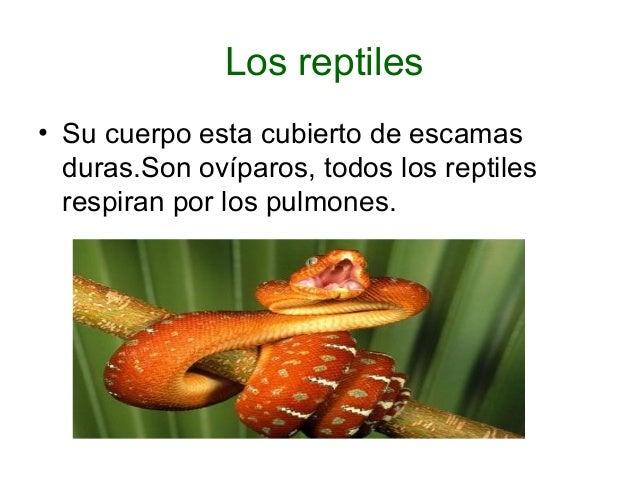 Los reptiles  • Su cuerpo esta cubierto de escamas  duras.Son ovíparos, todos los reptiles  respiran por los pulmones.