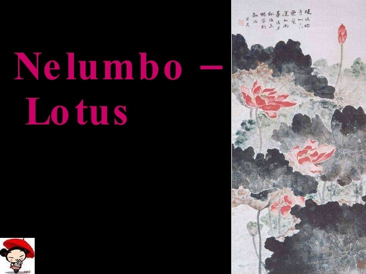 Nelumbo –  Lotus
