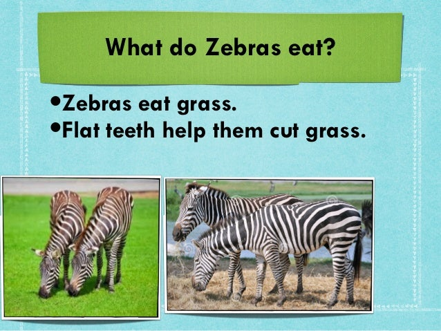 What Food Does The Zebra Eat
