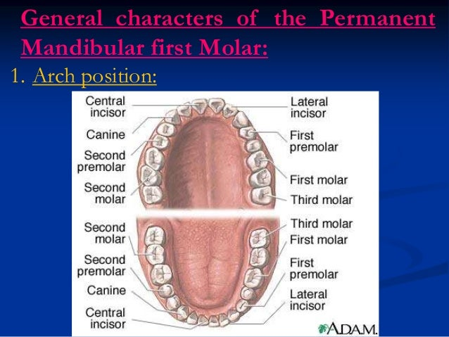 Smilgallery likewise 042tooth also Tooth Morphology Basics besides Lower First Molar furthermore Chapter 1 4 26019054. on tooth crown