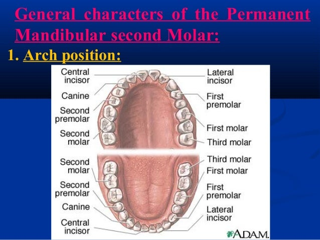 bilateral fusion of mandibular second molars Over the mandibular second or first molar  of the second molar is lower wisdom teeth partially erupted therefore, bilateral pain from the.