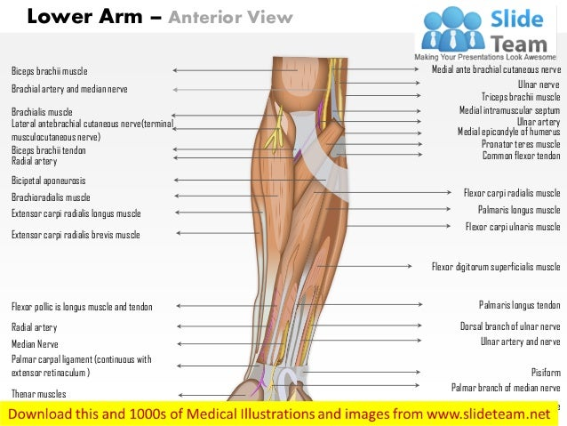 Lower arm anterior medical images for power point