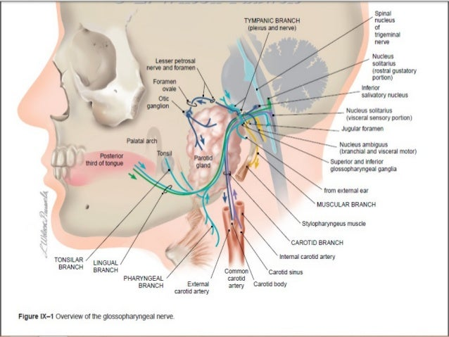 disorder of lower cranial nerves, Human Body