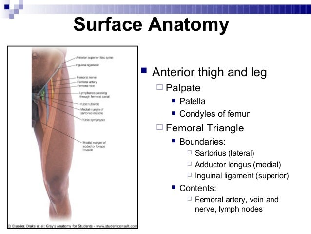 lower extremity, Muscles
