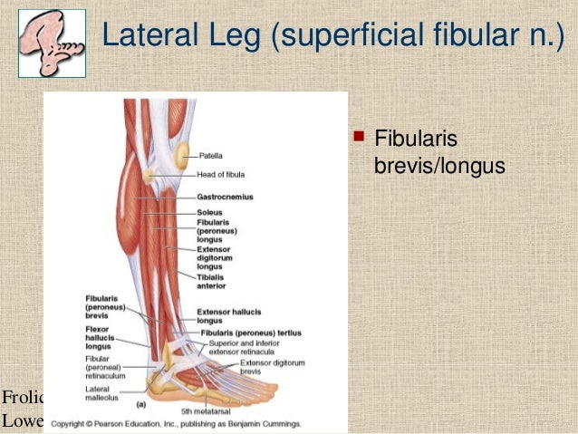 Lower limb tibialis anteriorus 17 frolich human anatomy lower limb ccuart Gallery
