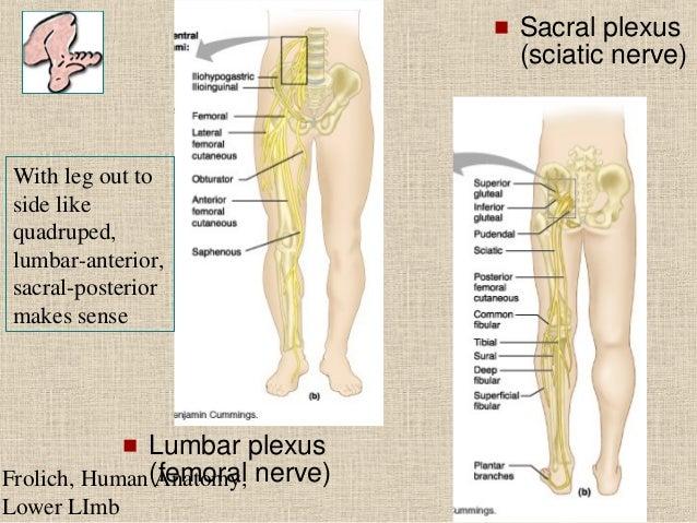 Lower Limb