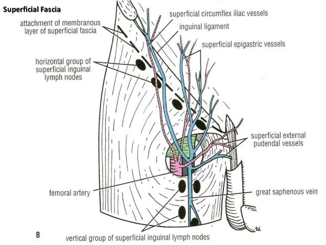 contents of lower (frontal), Muscles