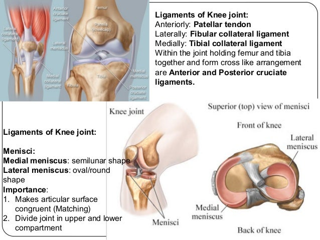 Lower limb bones joints muscles drbbgosai 16 ccuart Image collections