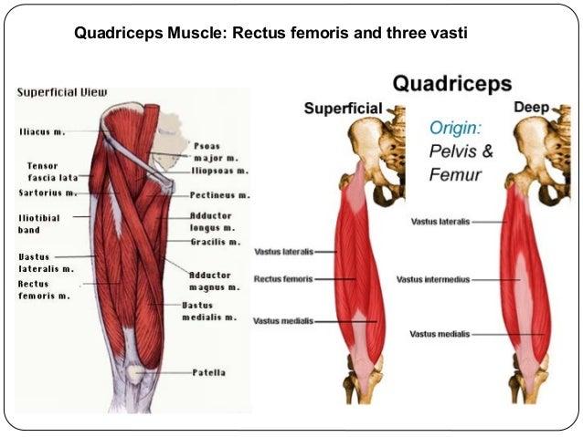 Lower limb bones-joints-muscles-Dr.B.B.Gosai